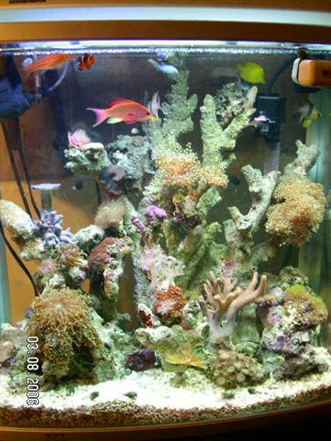 fish tank picture - Here is a most recent photo of my 37g tall reef tank. 30LBS of crushed coral. A few frogpawns, orange zoos, Hairy mushrooms, and a few extra freebees I got grom a cool local guy. I have added a yellow tang and a fire angel. I got rid of two damsels. And am awaiting a 220watt MH. for better lighting.