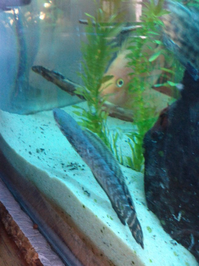 fish tank picture - another shot of my snakehead