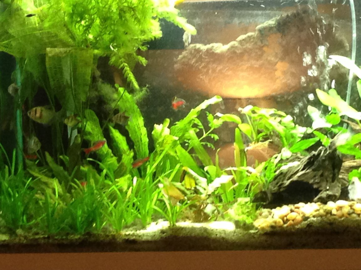 fish tank picture - Left Side of Tank, Lace Leaf.