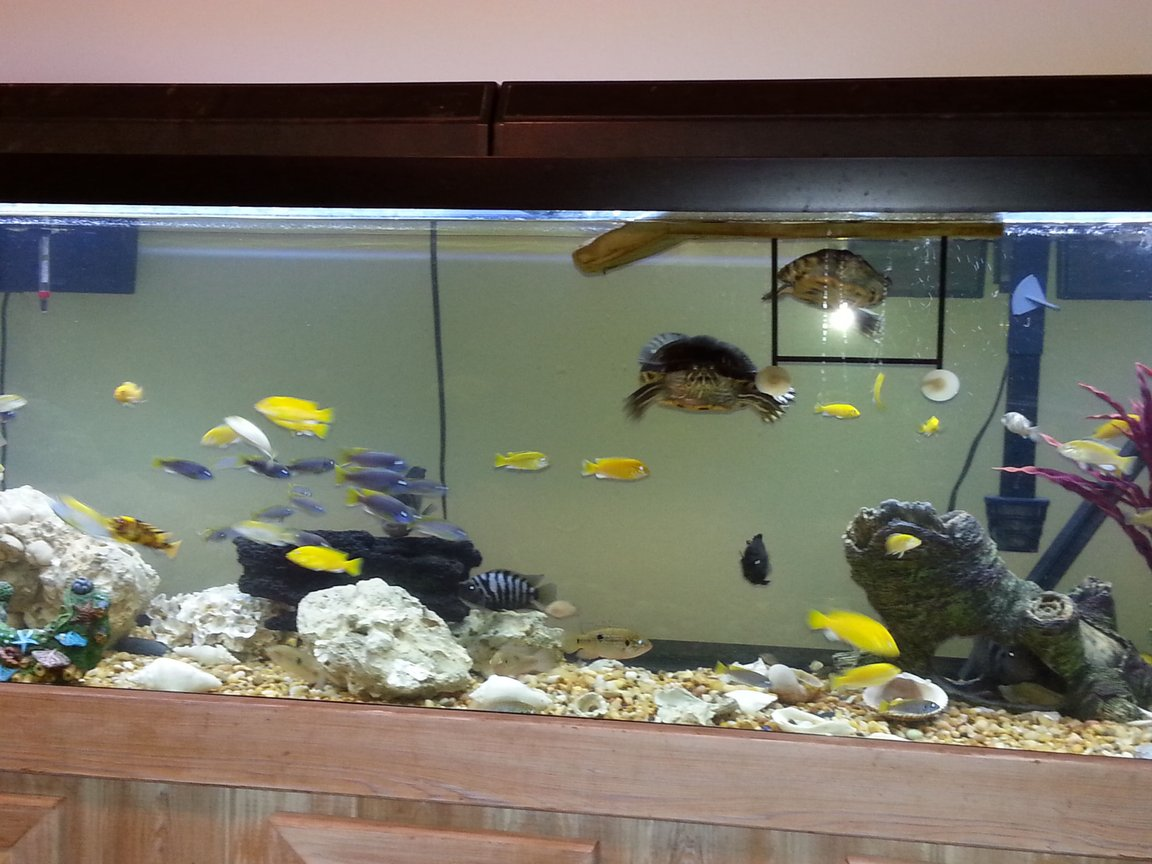 fish tank picture - Turtles diving