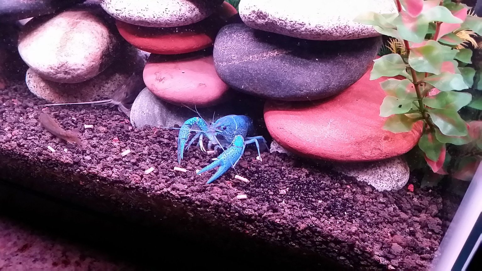 fish tank picture - Electric Blue Crayfish