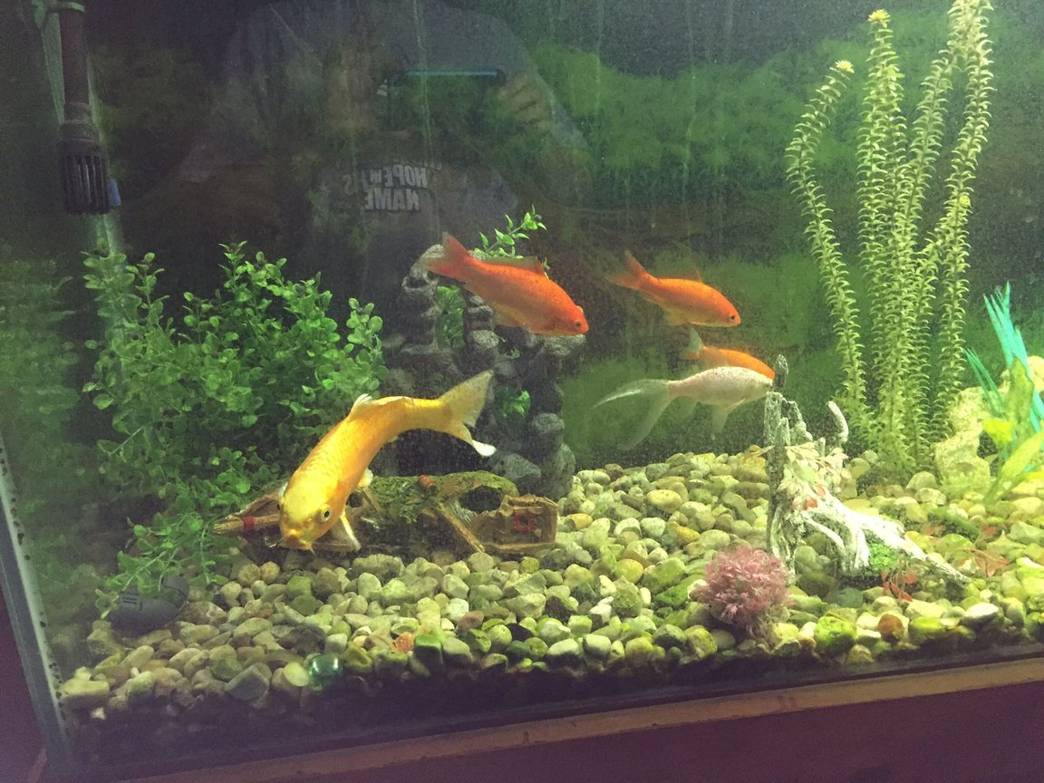 fish tank picture - 155 gallon goldfish and koi tank