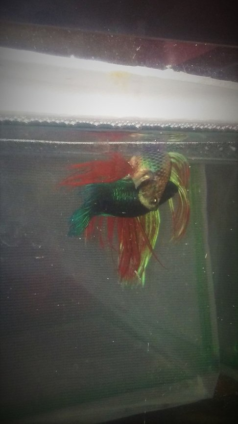 fish tank picture - BETTA LEARNING TO MATE