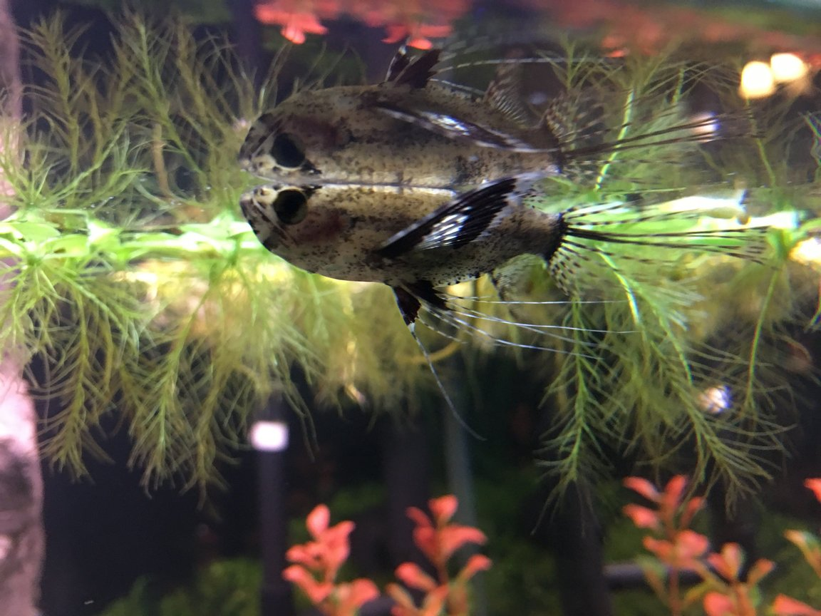 fish tank picture - African Butterfly Fish