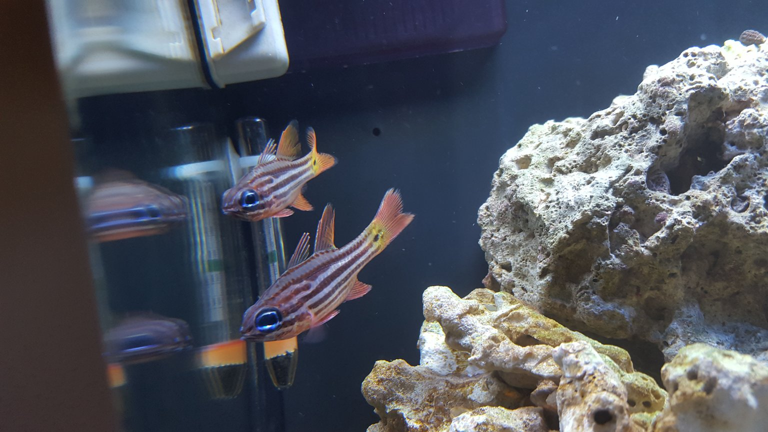 fish tank picture - Blue Eyed Candy Cane Cardinals