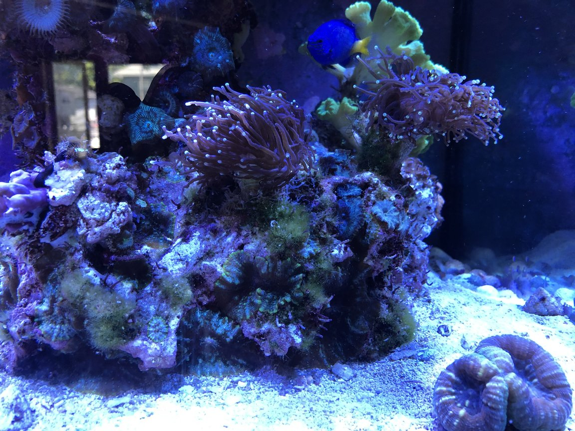 fish tank picture - Torch Corals