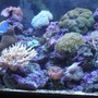 fish tank picture - 90 gal. Reef Tank w/Powder Blue Tang, Yellow Tail Damsel, Coral Beauty, Blue/Green Chromis. LPS, Leathers, Soft Corals & Mushrooms