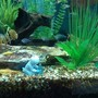 fish tank picture - Male albino bristlenose pleco with babies on rock and glass cats.