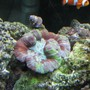fish tank picture - Brain coral