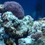 fish tank picture - Our Pineapple Brain Coral and Frog Spawn