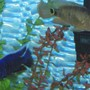 fish tank picture - big blue & red