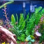 fish tank picture - Close up of right side with gouramis and cardinals.