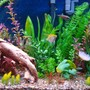 fish tank picture - Close up of right side with gouramis, angels, and cardinals.