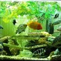 fish tank picture - Cichlid Aquarium