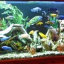 fish tank picture - 125 Gallon Glass Mixed Malawi 80 + FISH