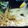 fish tank picture - angel, snail and alge eater