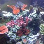 fish tank picture - ORA Red Planet Tablet Arcopora ( with a few other SPS in the back )
