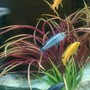 fish tank picture - African Malawi@ (mbuna)