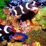 fish tank picture - Clowns, Angel and Hawkfish