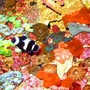 fish tank picture - Black Ocellaris Clownfish