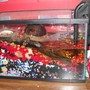 fish tank picture - fiddler crab tank= 1 female.2 males has cave they can go in near bottom of tank that goes all the way back. one of the 2 males is always in there