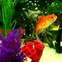fish tank picture - Gold Fish