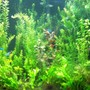 fish tank picture - 30 gal with 15 Neon Tetras and 10 Harlequin Rasbora--plants are wisteria-stargrass and valls-no CO2