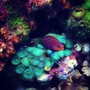 fish tank picture - little devil wrasse