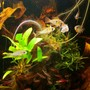 fish tank picture - Feeding time. Artemia Nauplien paste