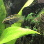 fish tank picture - Curviceps