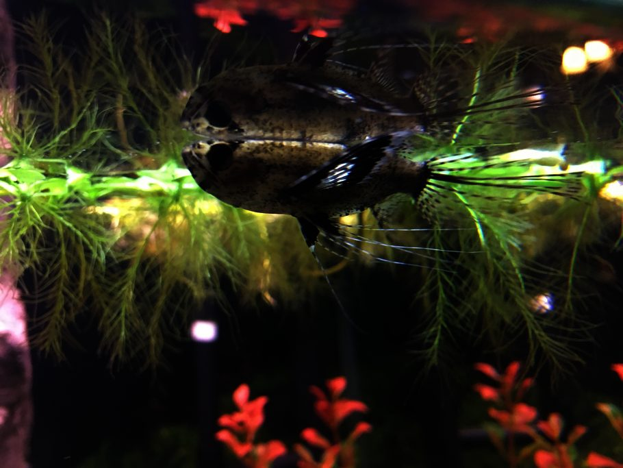 Bob loblaw 39 s additional tank picture photo id 44111 for African butterfly fish
