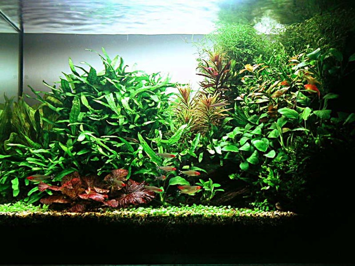 planted tank (mostly live plants and fish) - Aquarium Size: 60cm x 30cm x 45cm Substrate: 3inch lonestar Filtration: Internal power filter Lighting: 72 Watts, 10 hours CO2 system: 3 bubbles per second Plants: Anubias barteri var. nana, Echinodorus 'Ozelot', Elatine trianda, Ludwigia Cuba sp., Glossostigma elatinoides, Ludwigia repens, Microsorum pteropus, Microsorum pteropus 'Windelv', Nymphaea zenkeri 'Red', Vesicularia dubyana. Fish: Apistogramma trifasciata, Petitella georgiae, Nannostomus marginatus, Golden Sunrise Mickey Platies, Otocinclus. Invertebrates: Malayan shrimps, Caridinia japonica