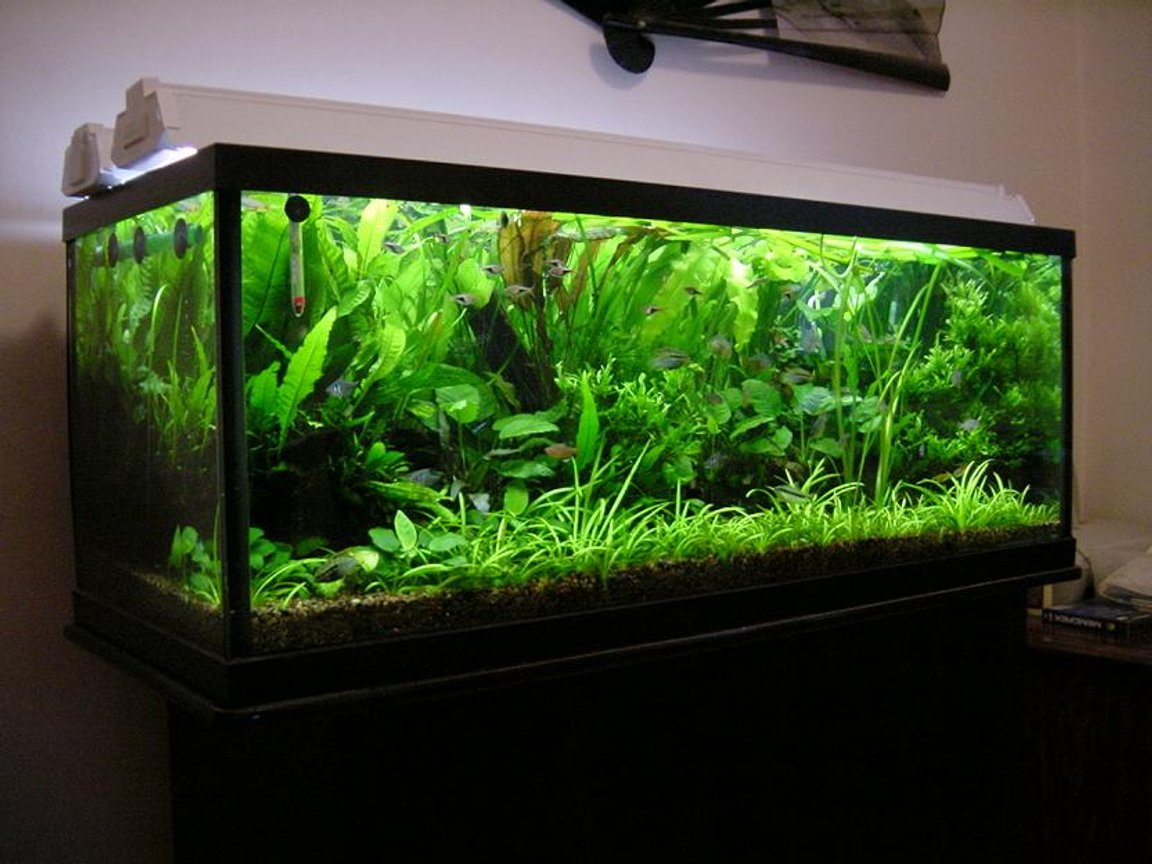 planted tank (mostly live plants and fish) - 65 Gallon (48x18x18), fully planted tank 100% flourite. Low Tech, Low Cost Aquarium. 4x40W GE bulbs, with DIY CO2. rbrtng@gmail
