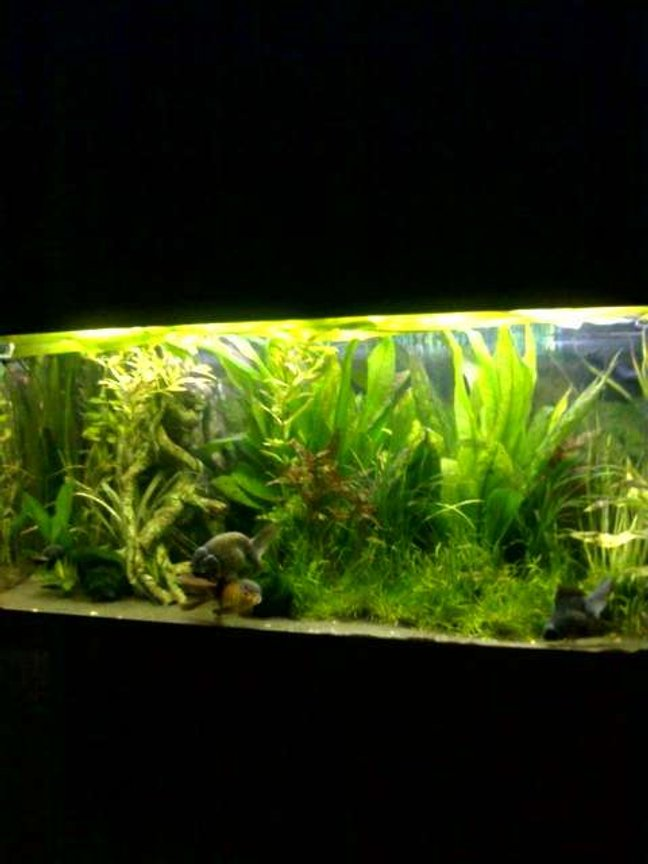 40 gallons planted tank (mostly live plants and fish) - Happy fish!