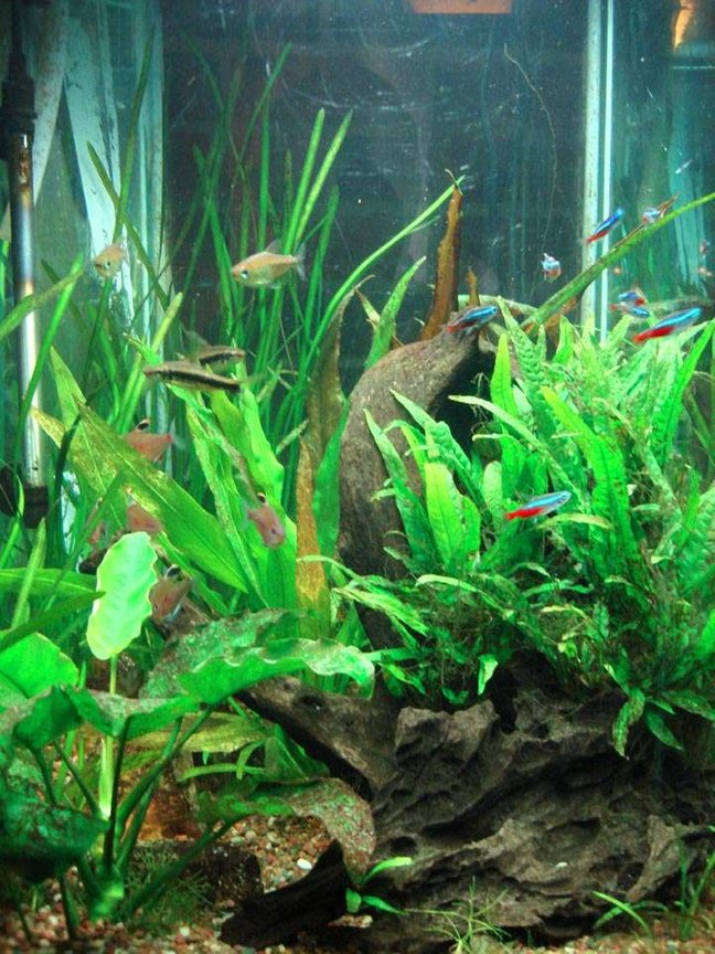 60 gallons planted tank (mostly live plants and fish) - Co2 continues into mid-July. My goal of having the Vallisneria spiralis encircle the tank is getting closer as they are sending shoots around the glass. The Cryptocoryne grew to large, and I cut it way back so light could reach other plants.