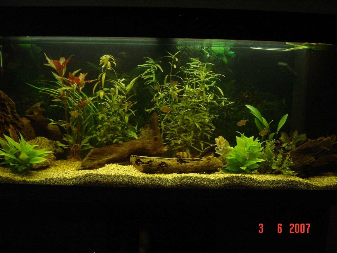 240 gallons planted tank (mostly live plants and fish) - My tank. Only been running a couple of months. Still has more fish to come. 1 x Angel 1 x Golden Nugget Pleco 1 x Black Widow Tetra 2 x Glowlight Tetra 3 x Red Eyed Tetra 4 x Bleeding Heart Tetra
