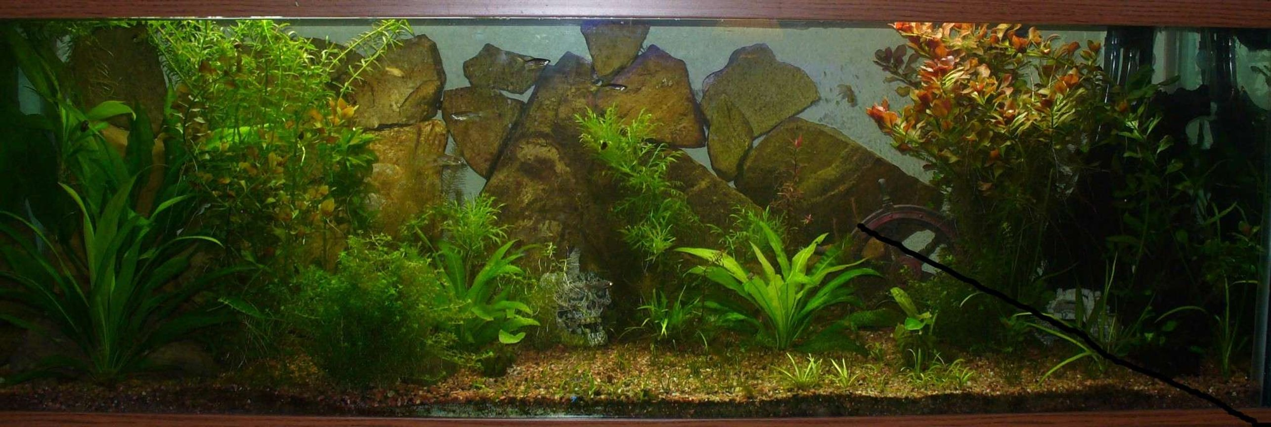 29 gallons planted tank (mostly live plants and fish) - 100 gal, 165 watts t-5 HO light (2) 10,000k, (1) 7,500K, Filter: Magnum 350 canaster filter, hand stacked rock wall Fish: 2SAE, 10 lepord danios, 3 dwarf puffers, 5 kuli loaches, 5 ottos Plants: 2 amazon swords, chain swords, dwarf sag, eldoa, red ludwiga
