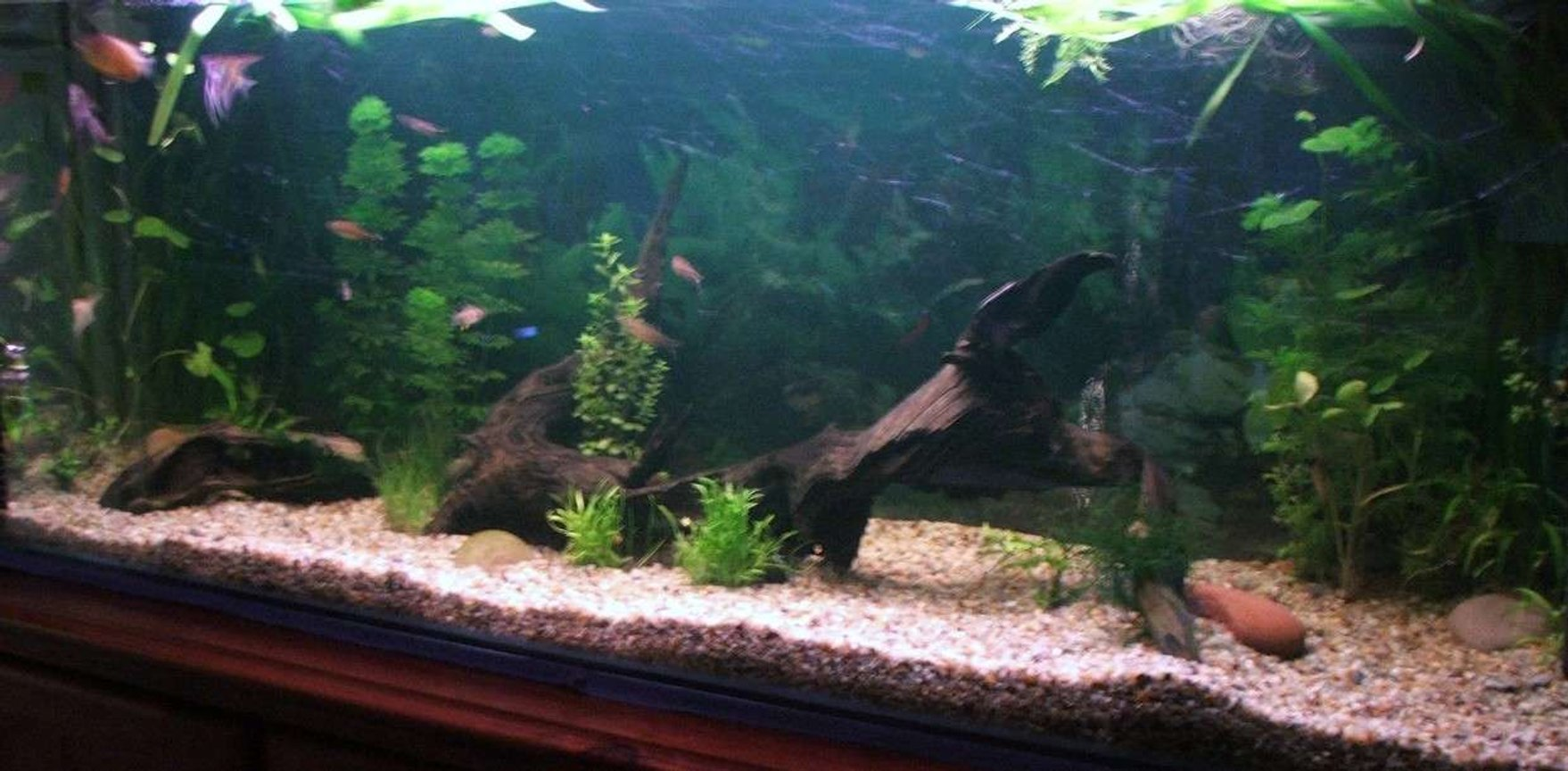 50 gallons planted tank (mostly live plants and fish) - My comunity planted 4' tank