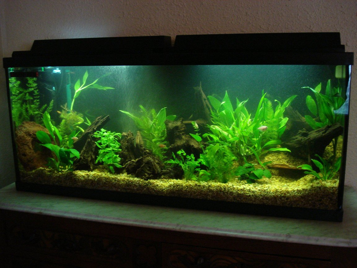 55 gallons planted tank (mostly live plants and fish) - My newly set up 55 gallon tank.