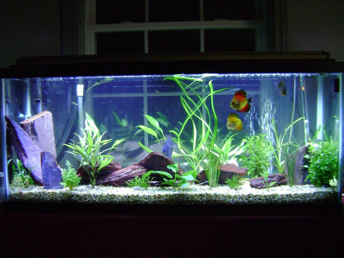 55 gallons planted tank (mostly live plants and fish) - Discus in my first planted tank.