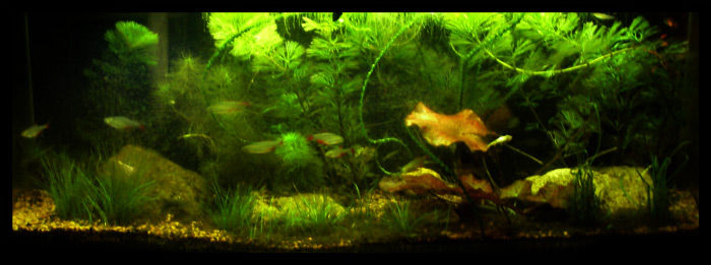 5 gallons planted tank (mostly live plants and fish) - 5-5 gallon planted, red tiger lotus, duckweed, cambodia, dwarf hairgrass, chainsword, green minifoil, ruffle leaf crinium