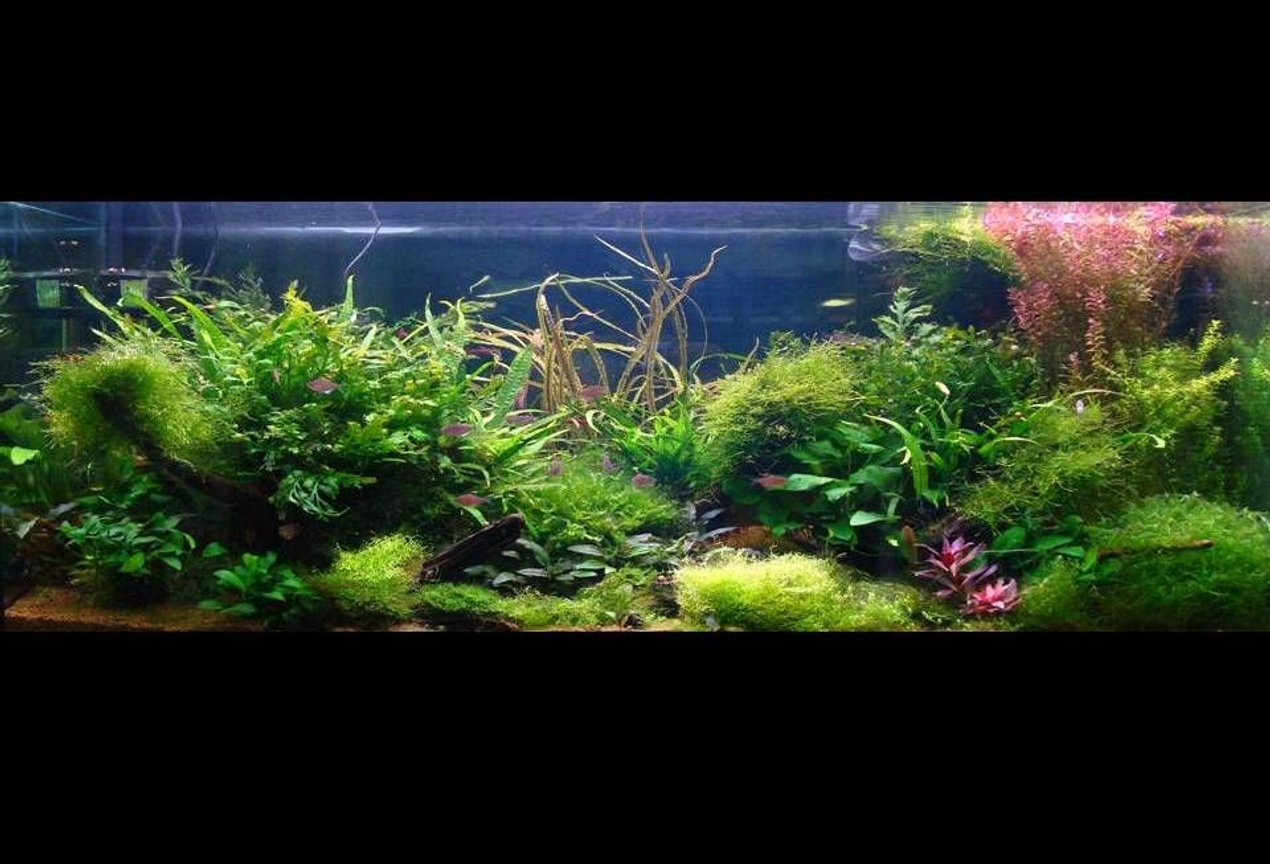 60 gallons planted tank (mostly live plants and fish) - 120 aqua one alloy , 4 x 54 watt t5, red sea flora base substrate, jbl profi set 2 co2 set