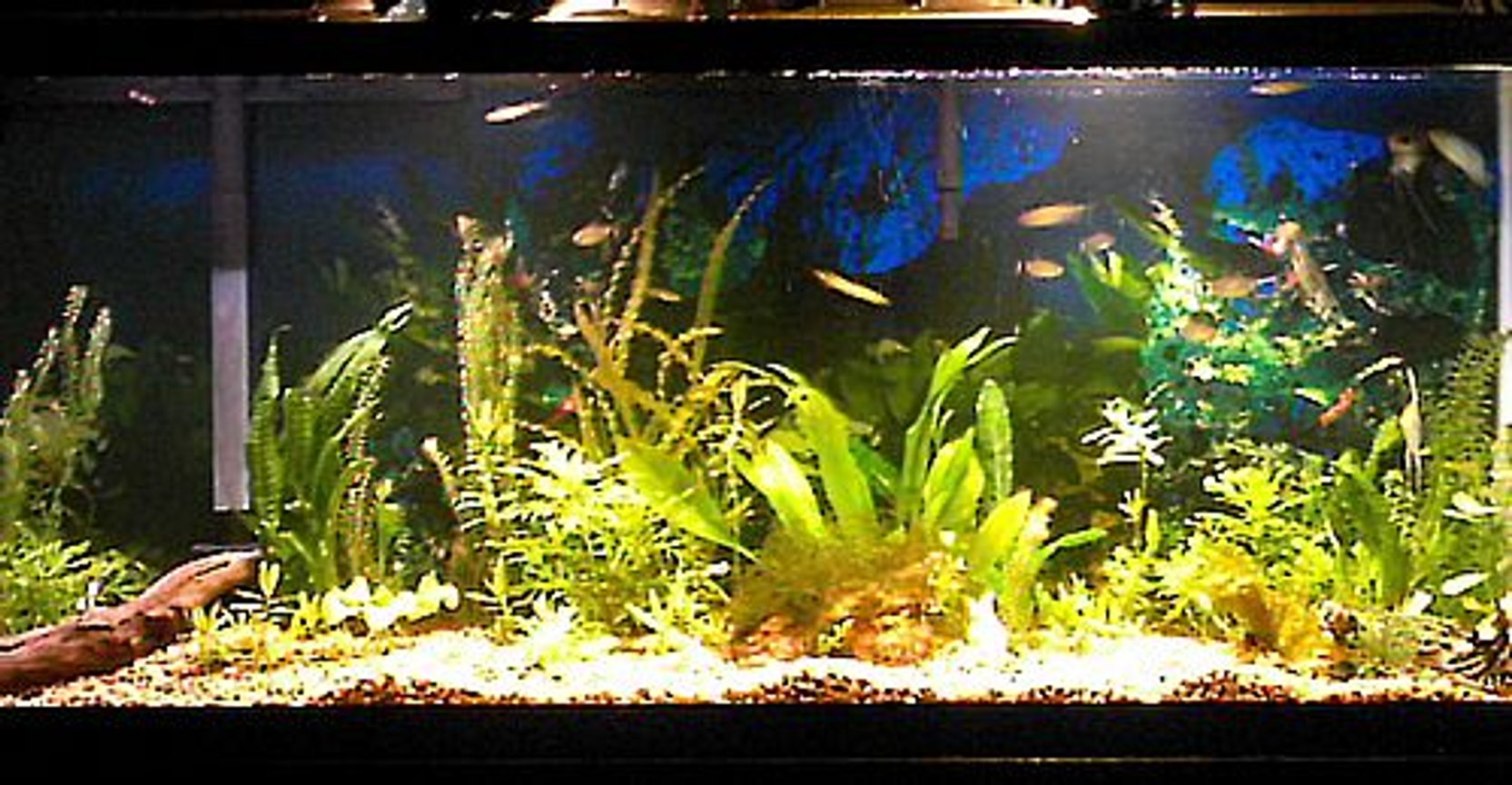 55 gallons planted tank (mostly live plants and fish) - Some plants, 4 Angelfish, 6 redeye tetras, 5 zebra danios, 1 three spot gourami, 1 CAE Plants include: Sword, wisteria, banana plant, Naja, java fern, java moss, a few misc.
