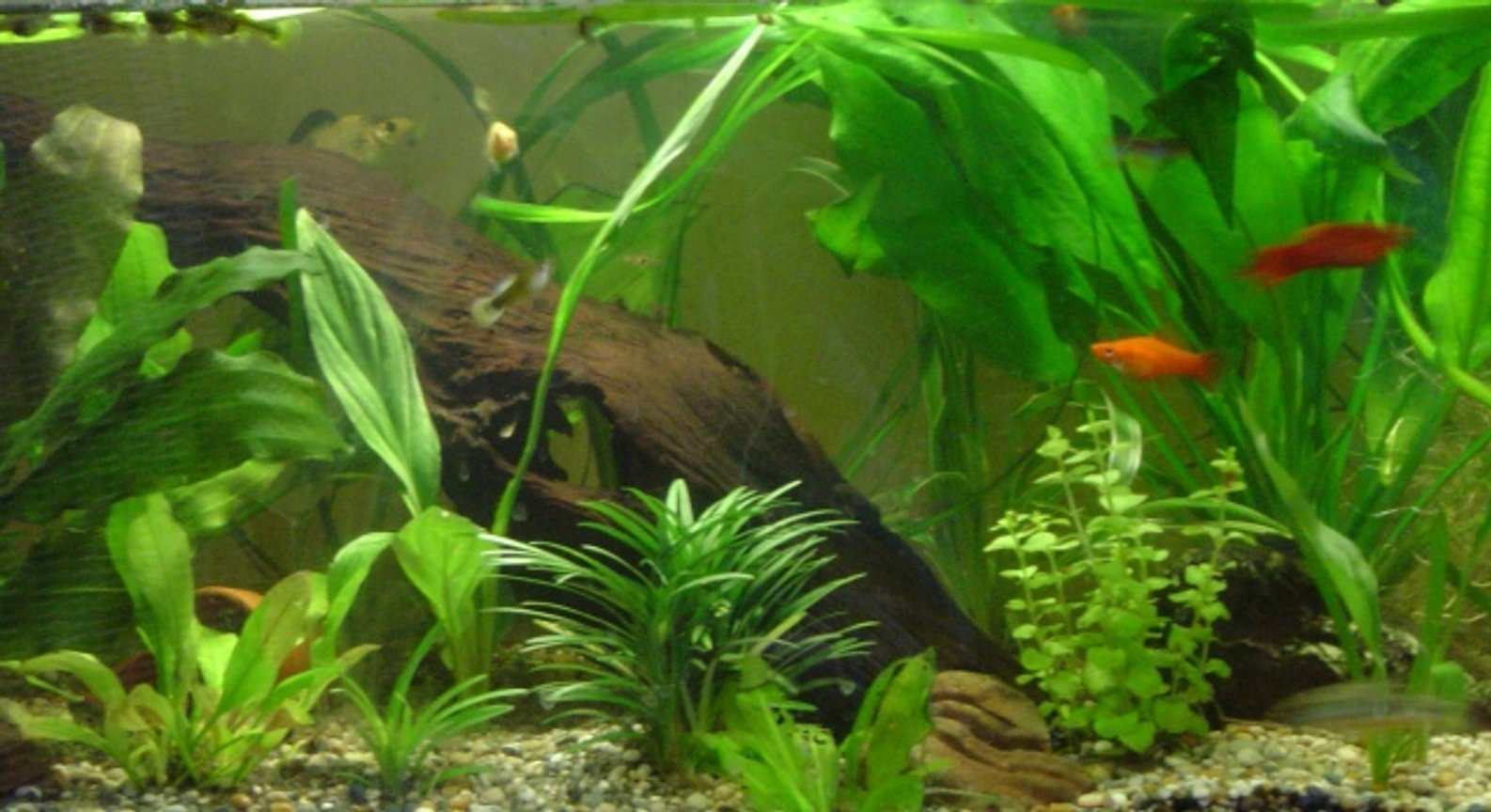 40 gallons planted tank (mostly live plants and fish) - comunity tank, well planted with a variety of different freshwater fish