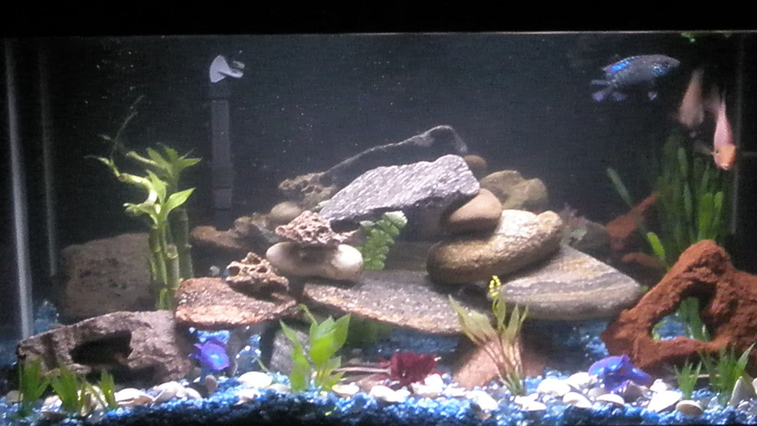 35 gallons planted tank (mostly live plants and fish) - Our 35 gallon tank. I see not many people like it..the picture isnt that good but still this is better than some other tanks i see come on now
