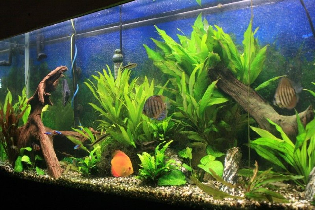 55 gallons planted tank (mostly live plants and fish) - 55 gallon planted discus tank 8/20/08