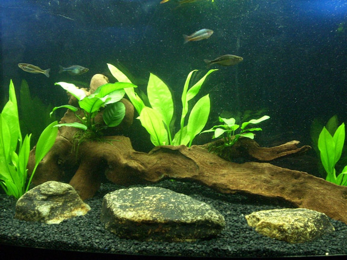 72 gallons planted tank (mostly live plants and fish) - 72 bowfront amazon swords and anubias lowtech