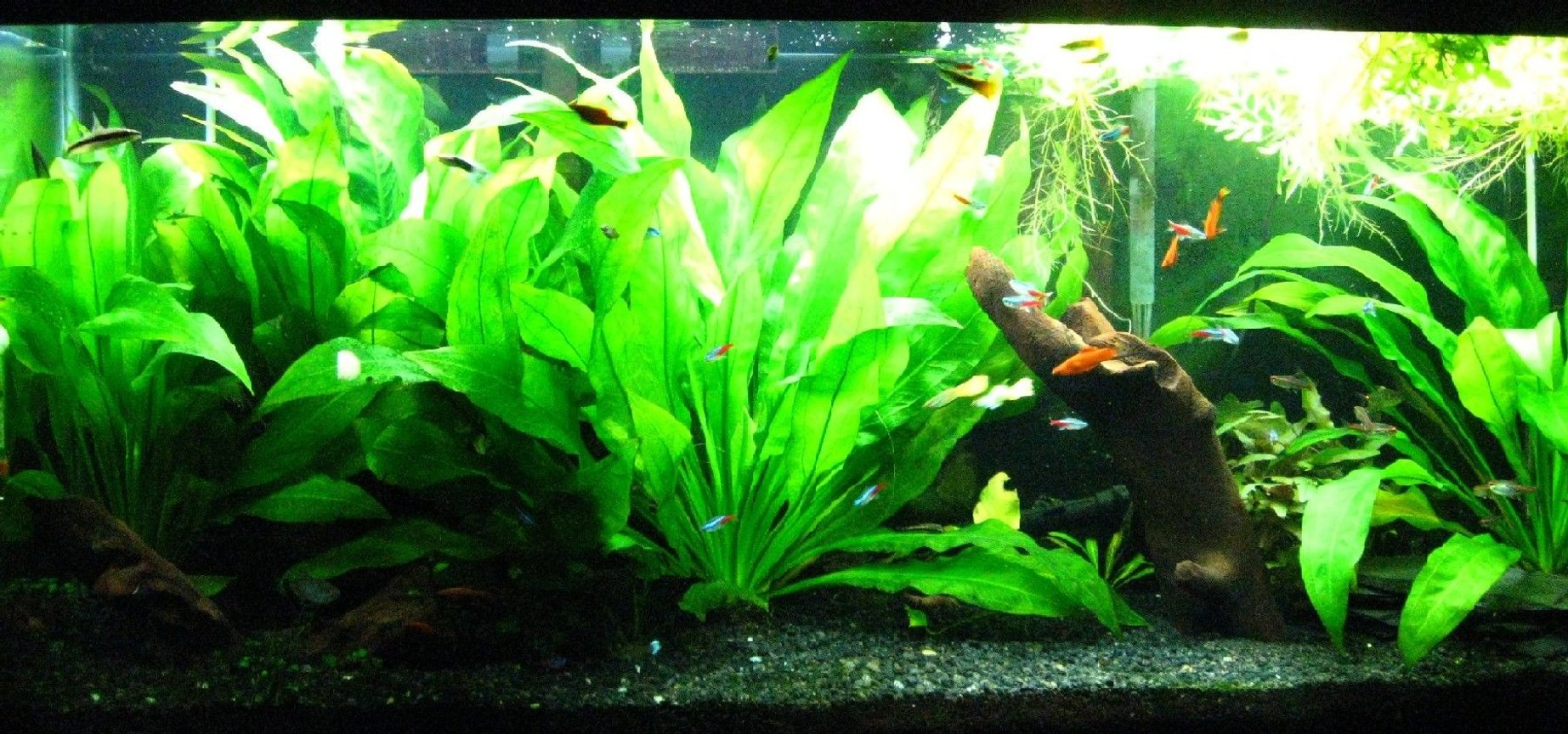 55 gallons planted tank (mostly live plants and fish) - My 55 gallon planted, community tank.