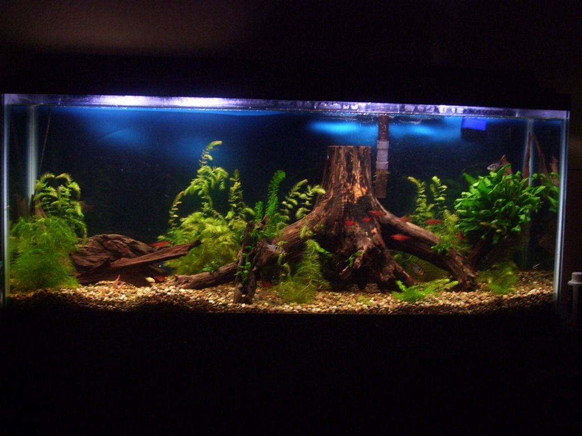 55 gallons planted tank (mostly live plants and fish) - My 55 gallon tank