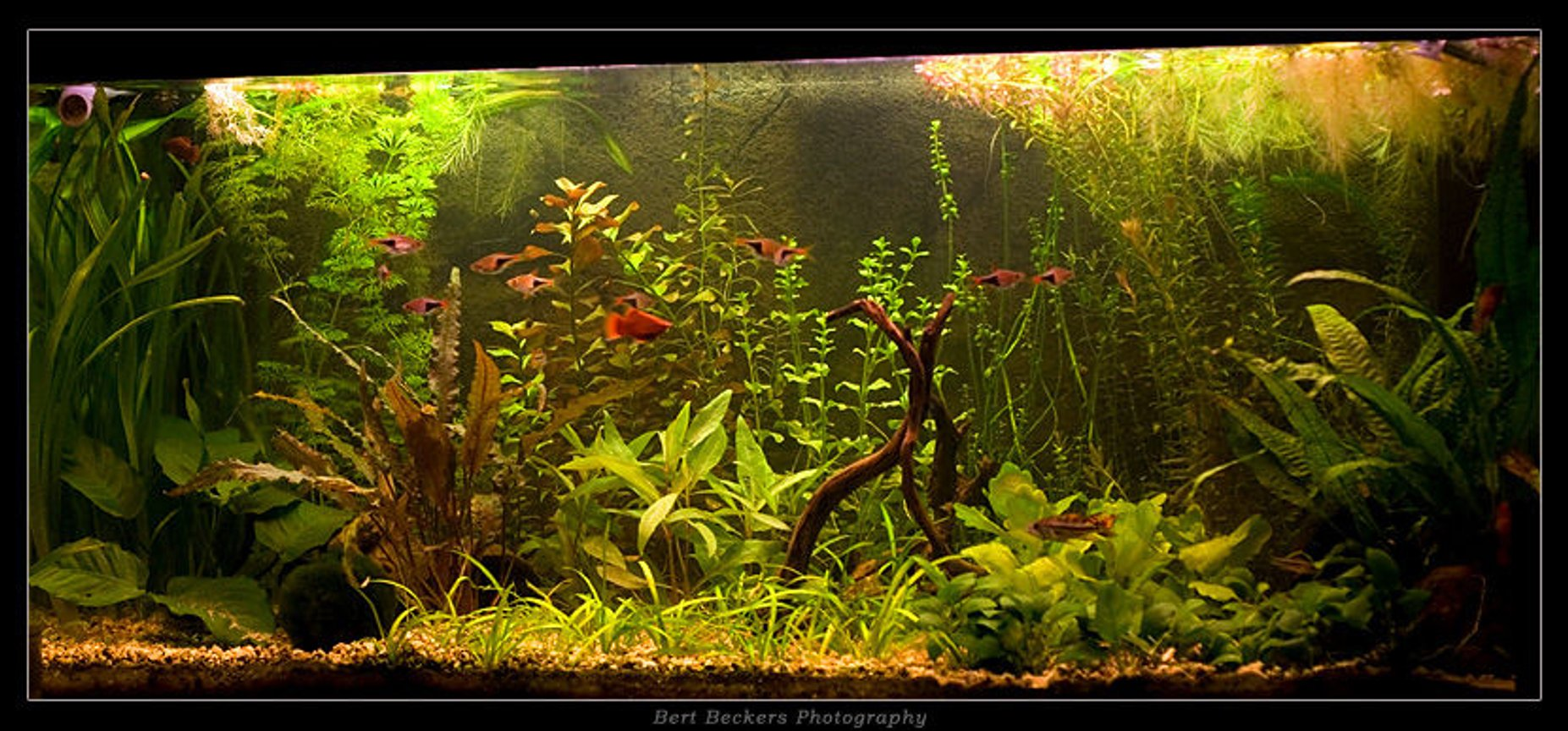 50 gallons planted tank (mostly live plants and fish) - My planted community tank.. Juwel Rio 180 2 TL lights with reflectors No CO2 installation Weekly dosage of Easylife Profito and Ferro Daily dosage of Easylife Easycarbo Thats all.. Fish kept: - 3x Apistogramma Cacatuoides Double Red - 4 Xiphophorus Maculatus - 10 Rasbora Heteromorpha - 3x Panghio Kuhli - 1x L201 catfish - 8x Japonica Shrimp